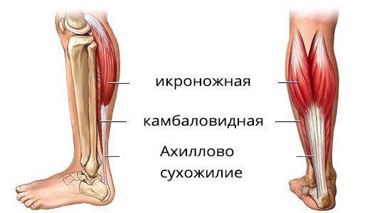 анатомия ноги