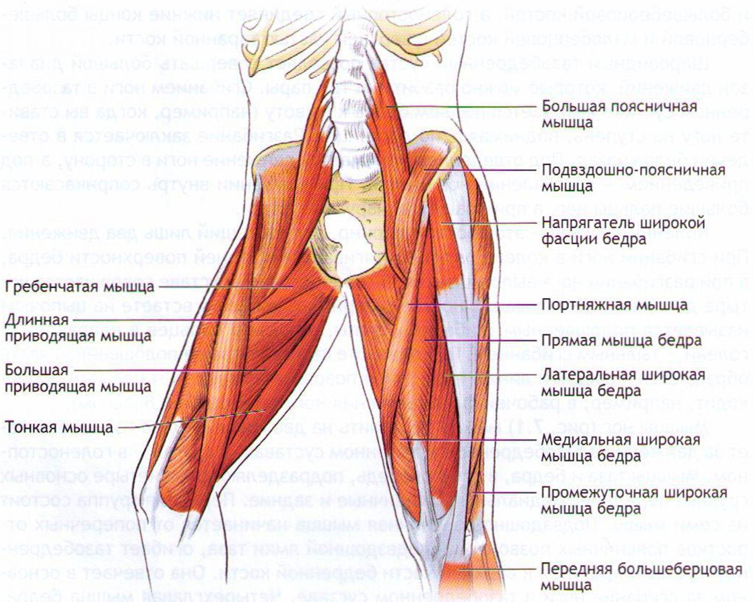 Мышцы составляющие бедра
