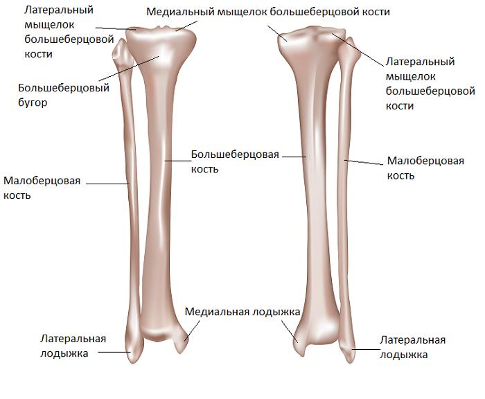 Анатомия костей