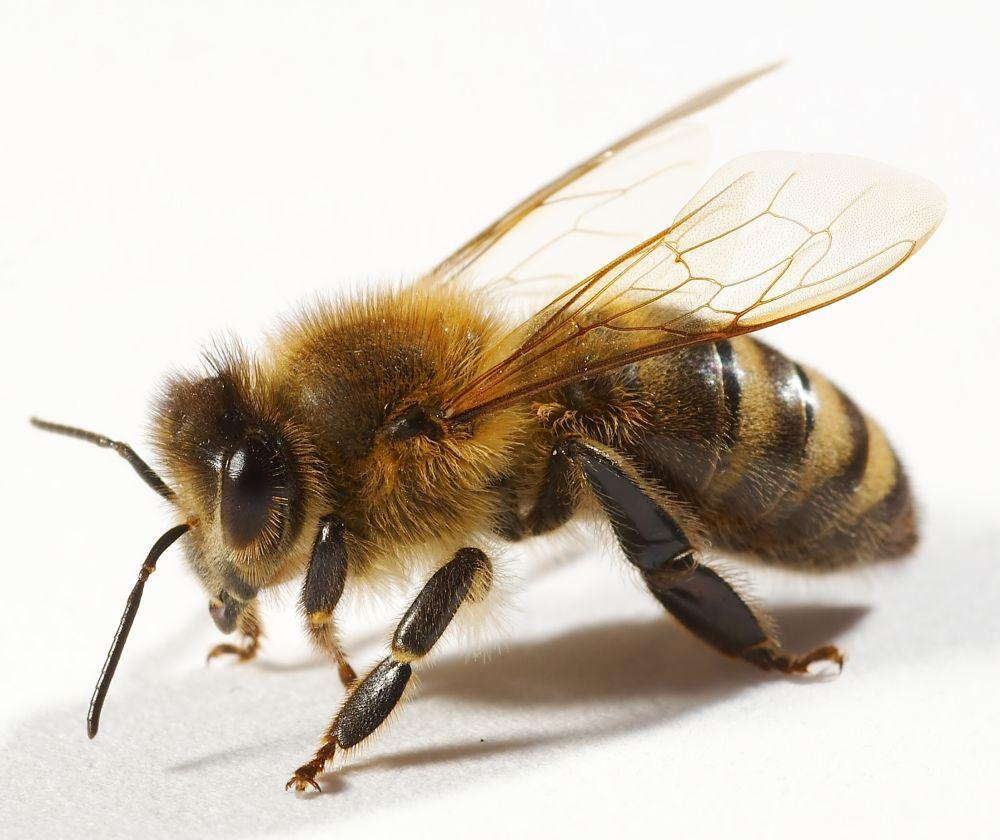 Укус пчелы очень опасен