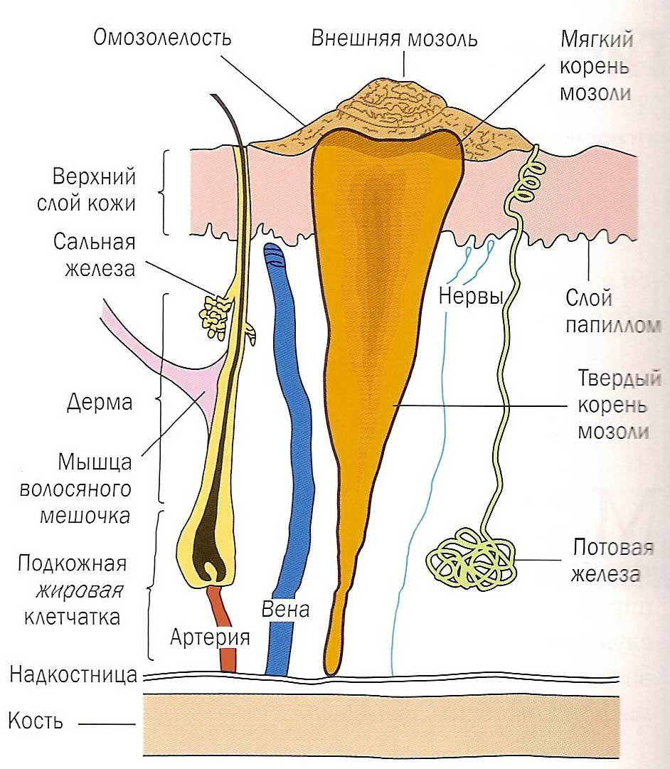 Анатомия мозоли