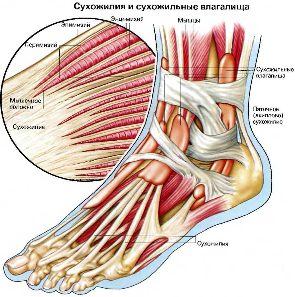 Сухожилия голеностопа