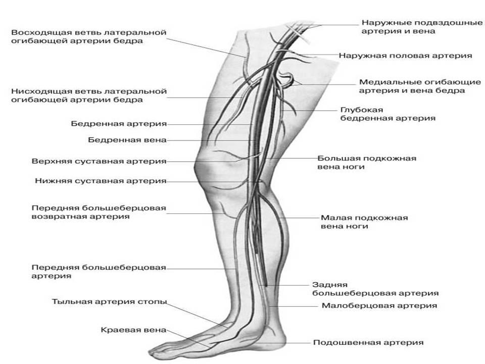 Вены и артерии ног