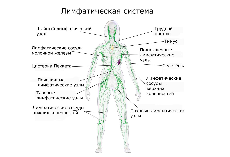Лимфатические сосуды