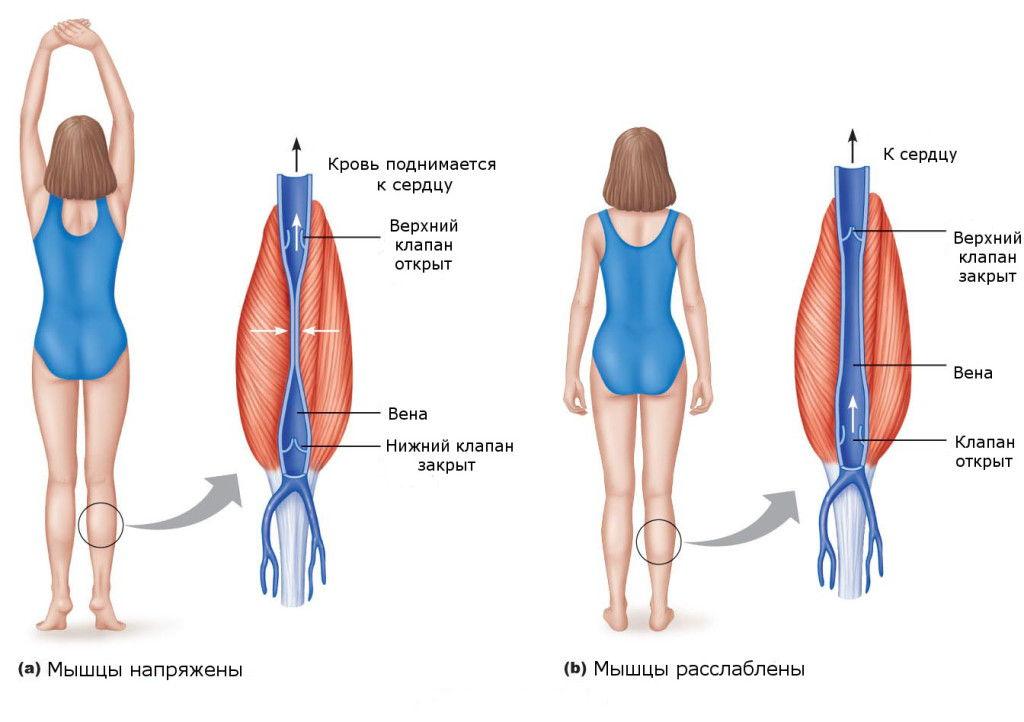 Влияние мышц на сосуды