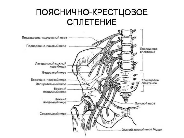 Ответвление бедренного нерва
