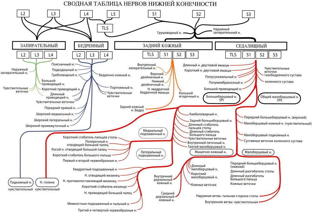 Таблица нервов