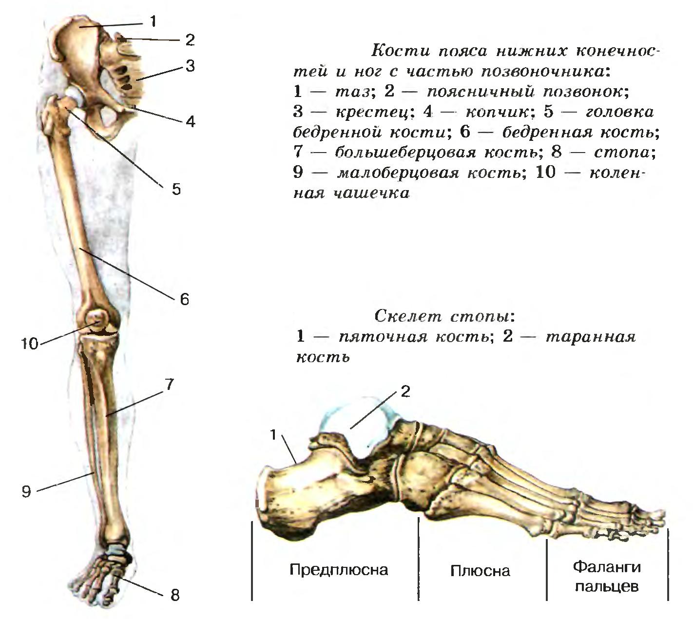 Кости ноги и стопы