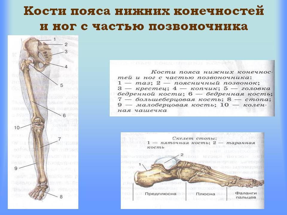 Схема пояса нижних конечностей