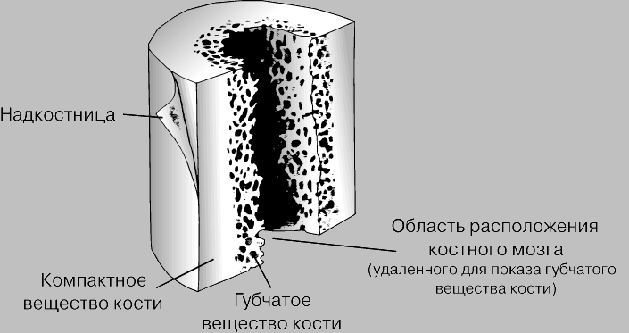 Ткани костей