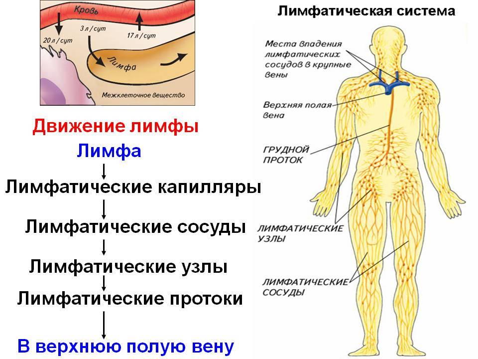 Система циркуляции лимфы