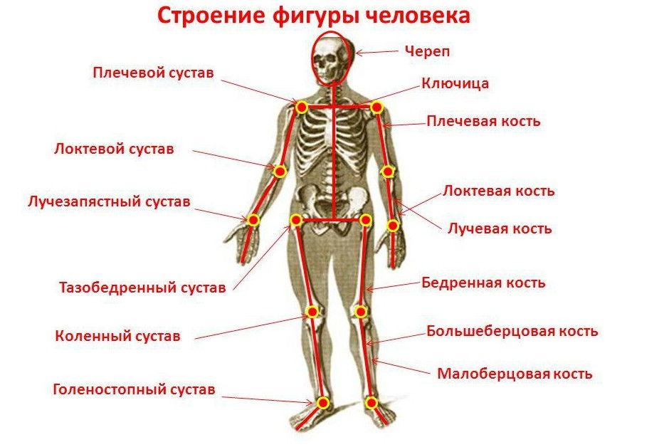 Кости и суставы человека
