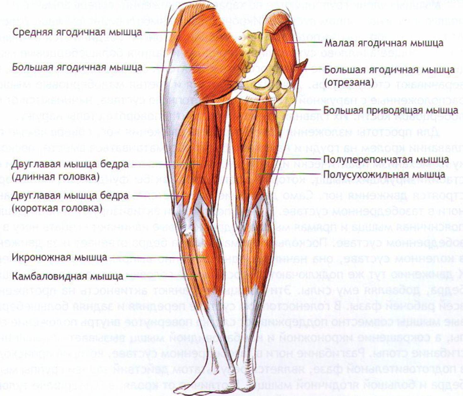 Мышечный каркас