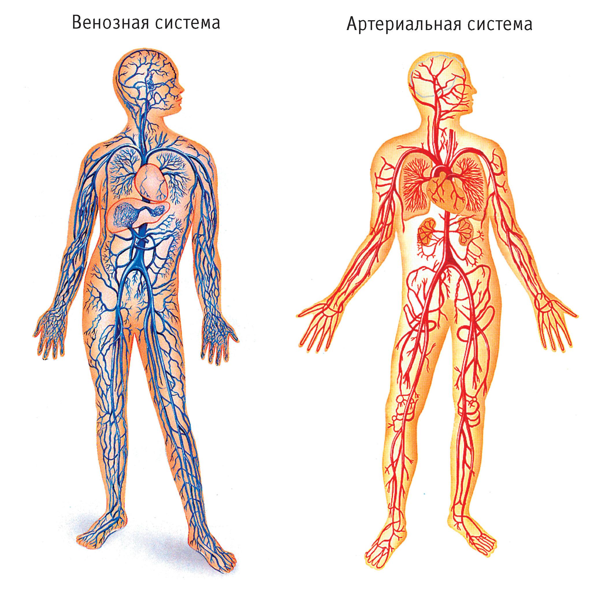 Сосуды кровеносной системы