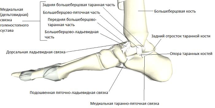 Голеностопный сустав человека