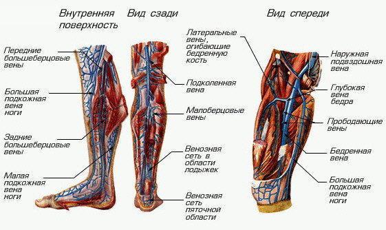 сосуды нижних конечностей