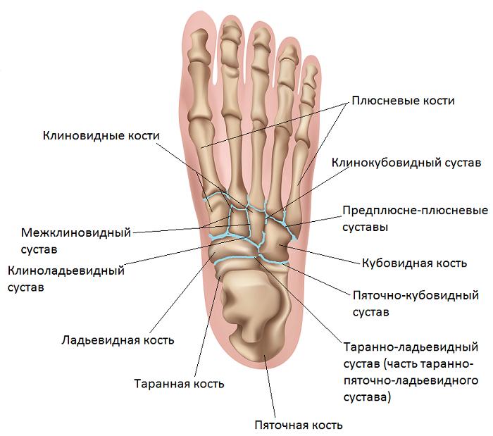 Анатомия стопы
