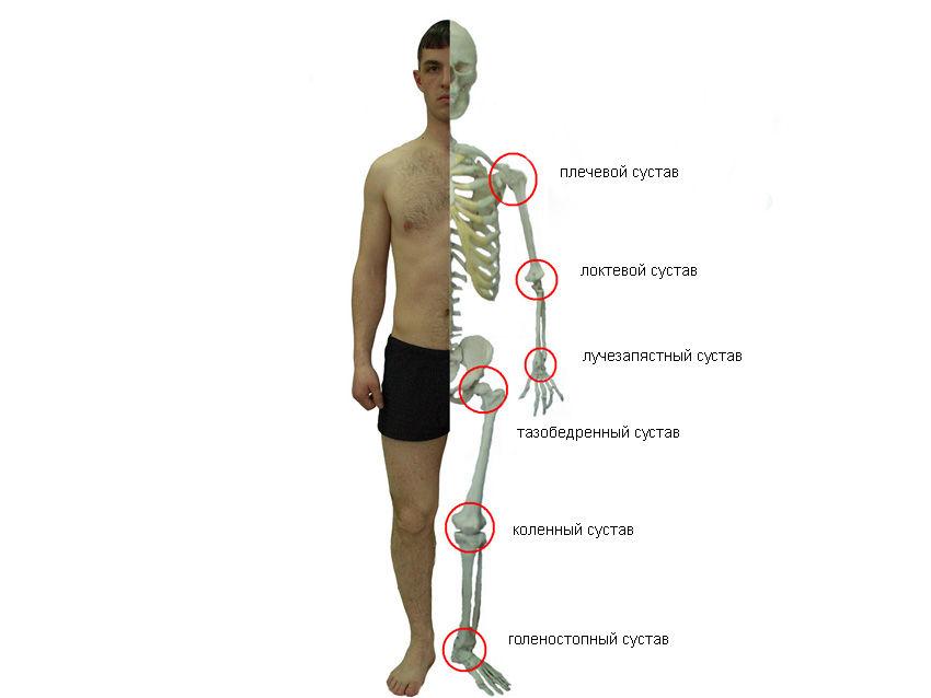 Суставы человеческого скелета