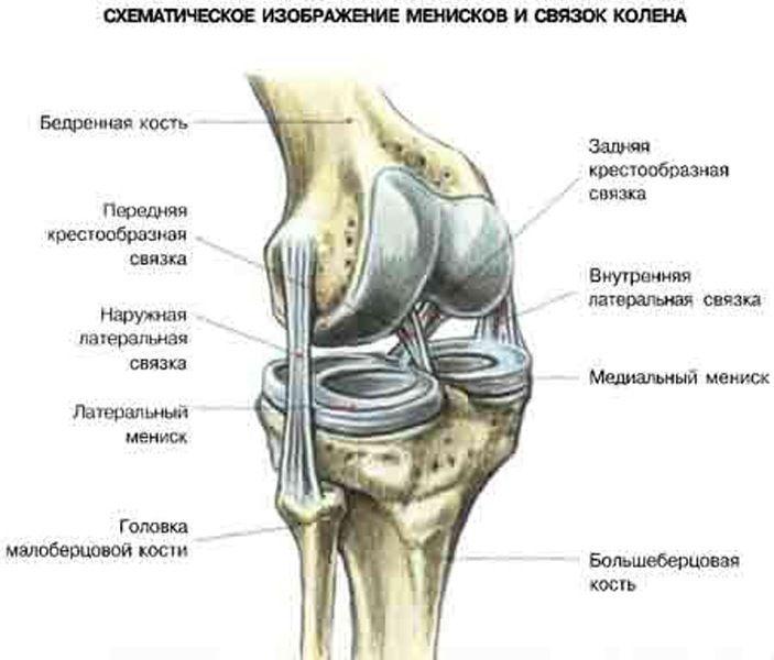 Анатомия связок