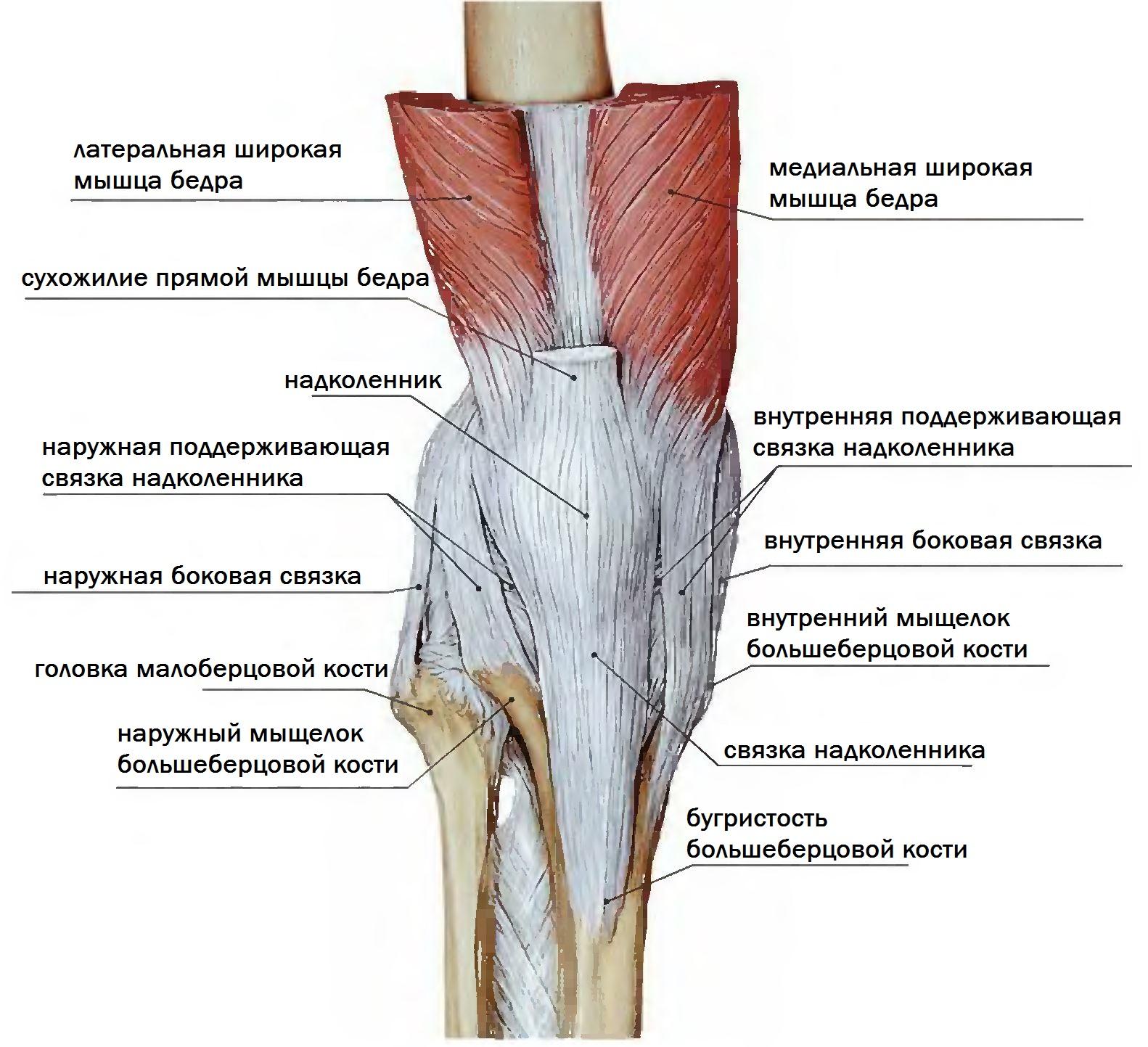 Анатомия связок надколенника