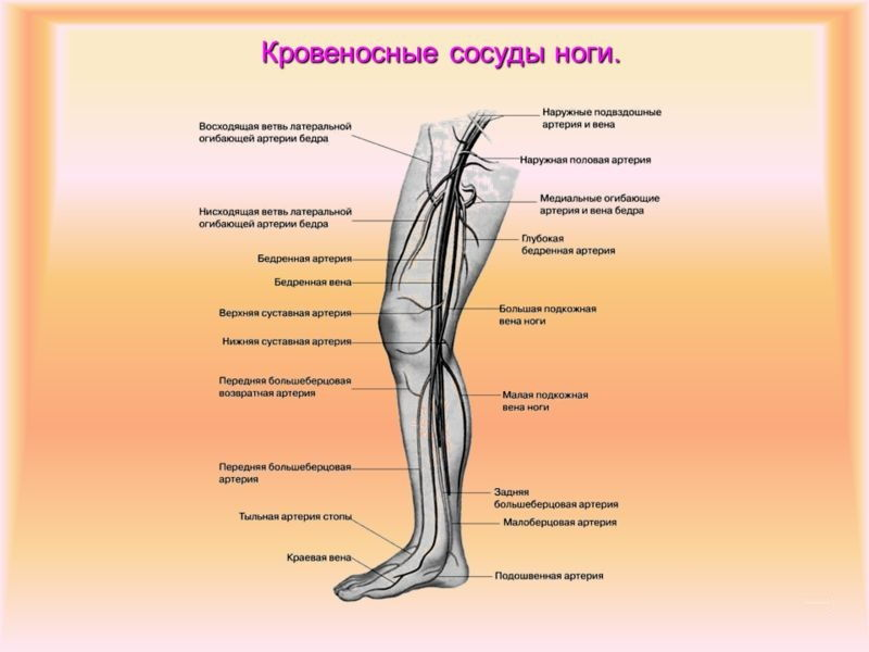Анатомия сосудов