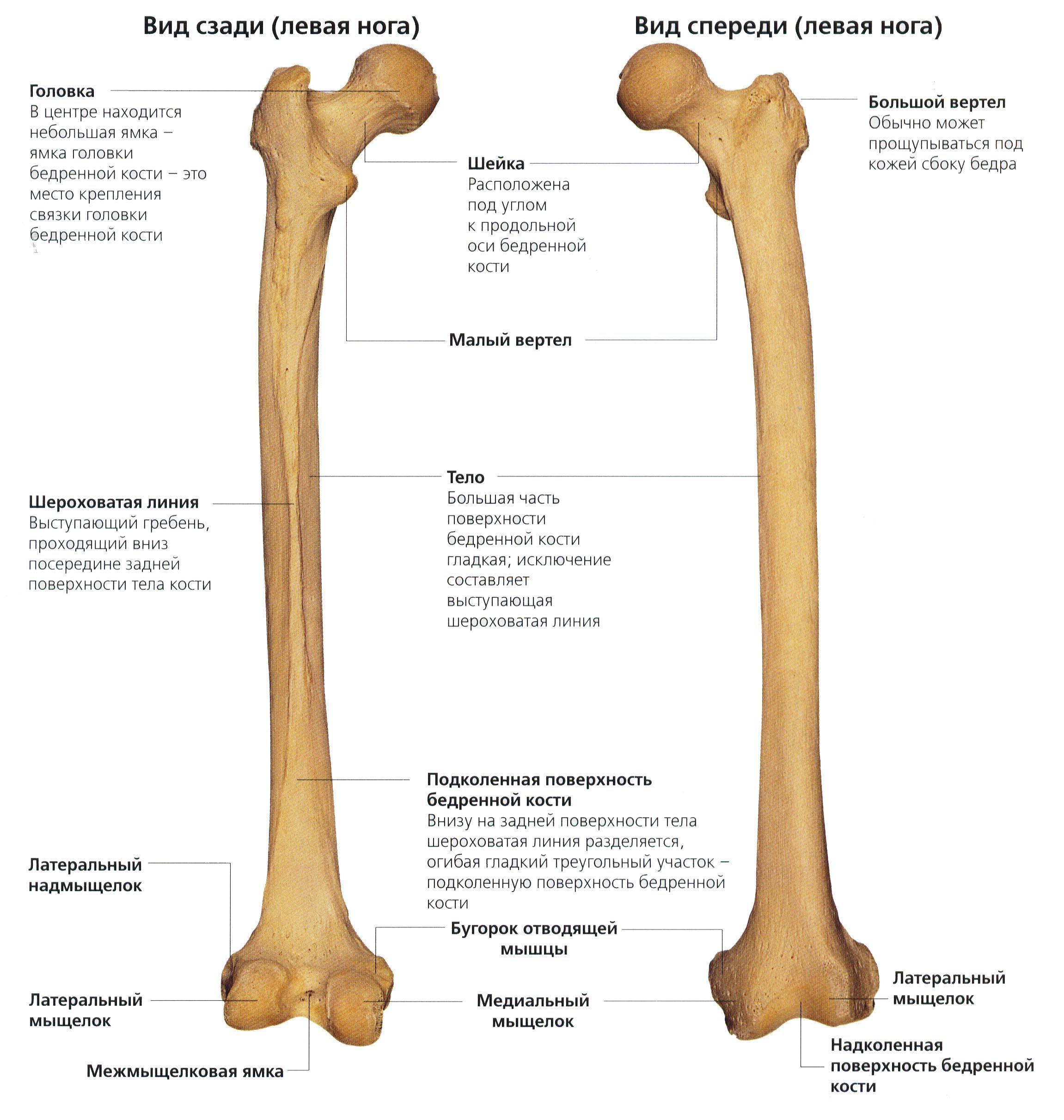 Бедренная кость человека