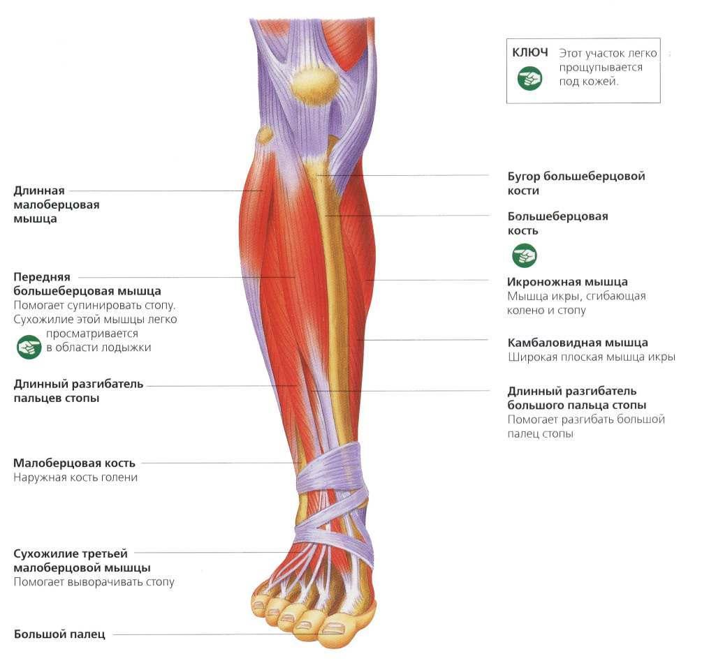 Передние мышцы голени