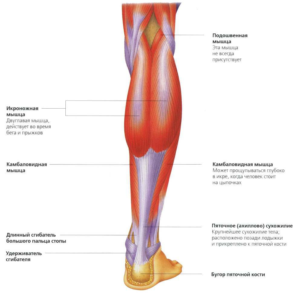 Задние мышцы голени