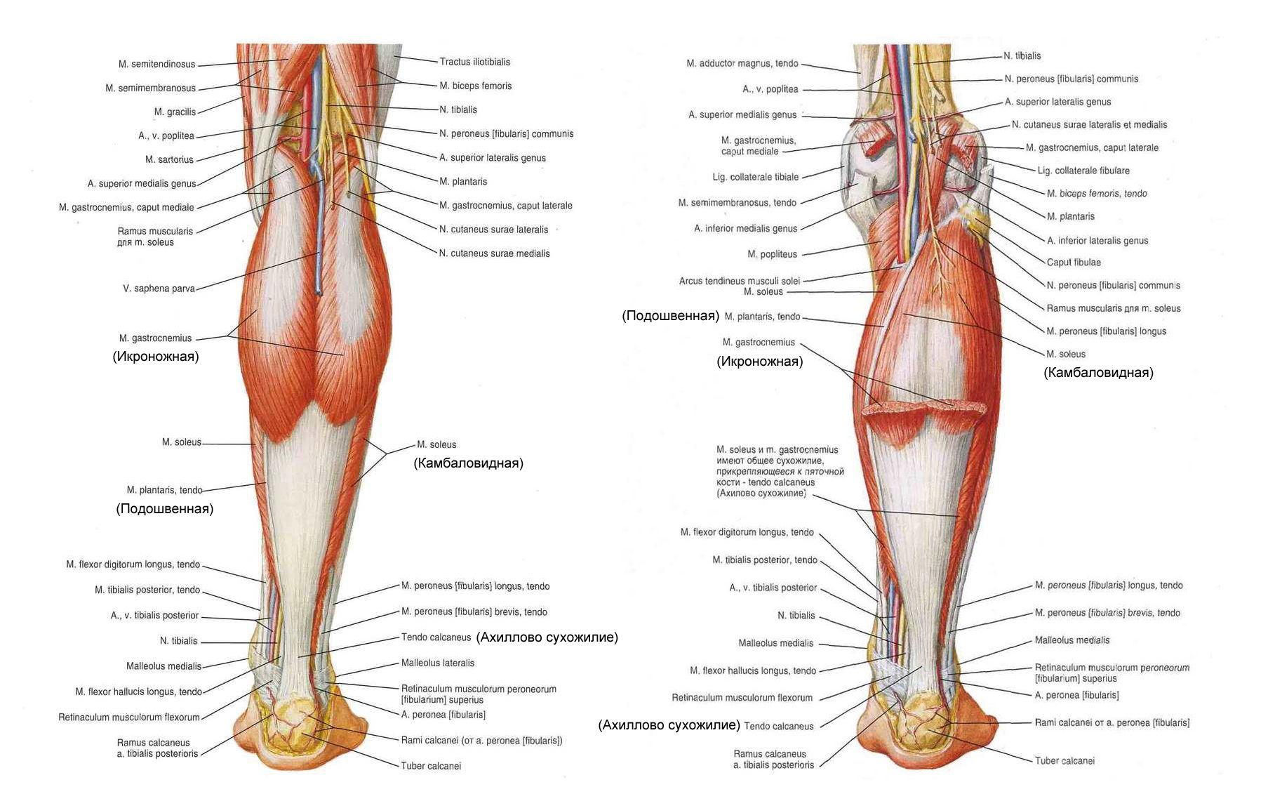 Мышцы голени ноги